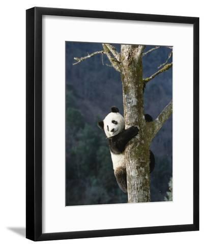 Giant Panda (Ailuropoda Melanoleuca) Climbing Tree, Endangered, Wolong Valley, China-Konrad Wothe-Framed Art Print