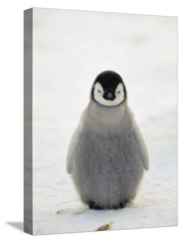 Emperor Penguin (Aptenodytes Forsteri) Chick, Antarctica-Konrad Wothe-Stretched Canvas Print