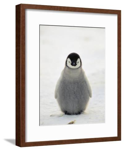 Emperor Penguin (Aptenodytes Forsteri) Chick, Antarctica-Konrad Wothe-Framed Art Print