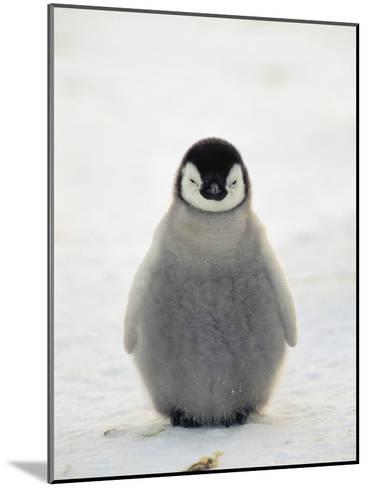 Emperor Penguin (Aptenodytes Forsteri) Chick, Antarctica-Konrad Wothe-Mounted Photographic Print