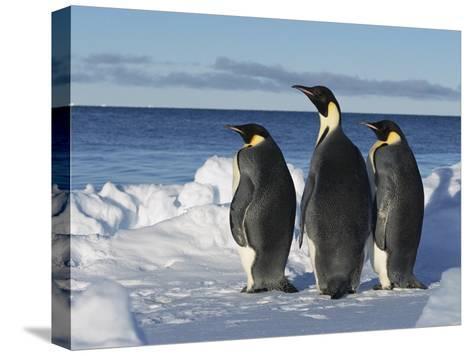 Emperor Penguin (Aptenodytes Forsteri) Trio on Edge of Ice, Antarctica-Konrad Wothe-Stretched Canvas Print