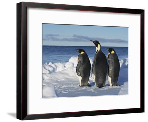 Emperor Penguin (Aptenodytes Forsteri) Trio on Edge of Ice, Antarctica-Konrad Wothe-Framed Art Print