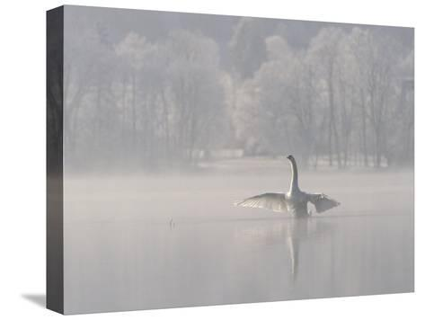Mute Swan (Cygnus Olor) Stretching its Wings on a Misty Lake, Germany-Konrad Wothe-Stretched Canvas Print