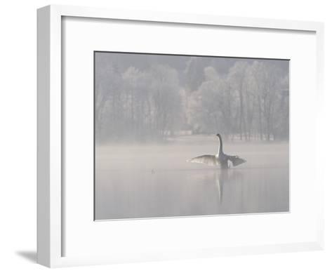 Mute Swan (Cygnus Olor) Stretching its Wings on a Misty Lake, Germany-Konrad Wothe-Framed Art Print
