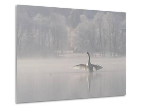 Mute Swan (Cygnus Olor) Stretching its Wings on a Misty Lake, Germany-Konrad Wothe-Metal Print