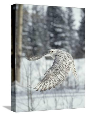 Gyrfalcon (Falco Rusticolus) Adult Female in White Phase Flying, North America-Konrad Wothe-Stretched Canvas Print