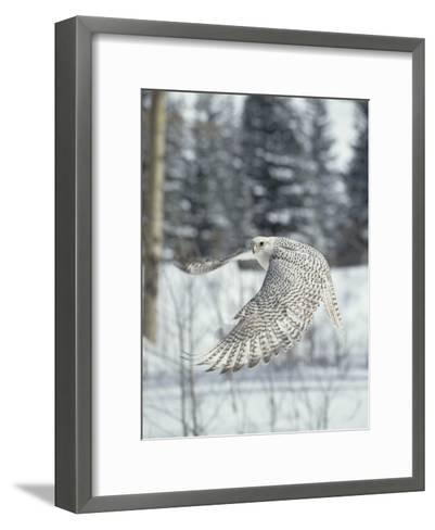 Gyrfalcon (Falco Rusticolus) Adult Female in White Phase Flying, North America-Konrad Wothe-Framed Art Print