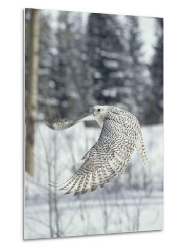 Gyrfalcon (Falco Rusticolus) Adult Female in White Phase Flying, North America-Konrad Wothe-Metal Print