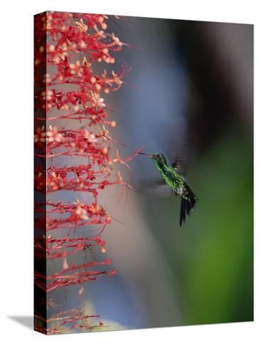 Blue-Tailed Hummingbird (Amazilia Cyanura) Hovering Near Red Flowers, Honduras-Konrad Wothe-Stretched Canvas Print