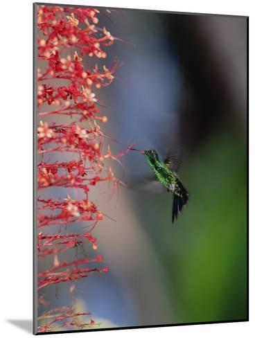 Blue-Tailed Hummingbird (Amazilia Cyanura) Hovering Near Red Flowers, Honduras-Konrad Wothe-Mounted Photographic Print