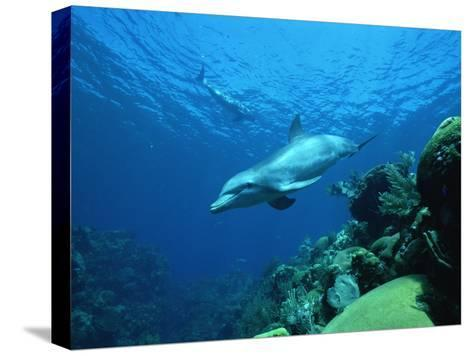 Bottlenose Dolphin (Tursiops Truncatus) Swimming over Coral Reef, Honduras-Konrad Wothe-Stretched Canvas Print