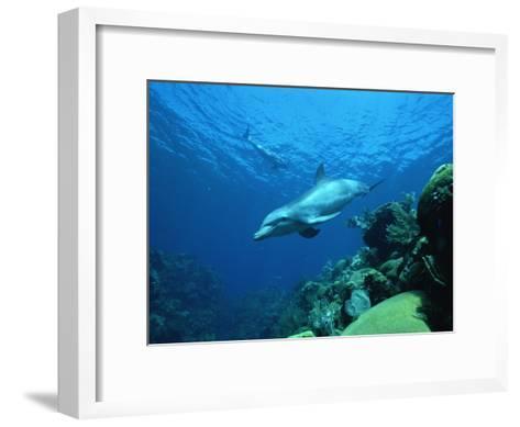 Bottlenose Dolphin (Tursiops Truncatus) Swimming over Coral Reef, Honduras-Konrad Wothe-Framed Art Print