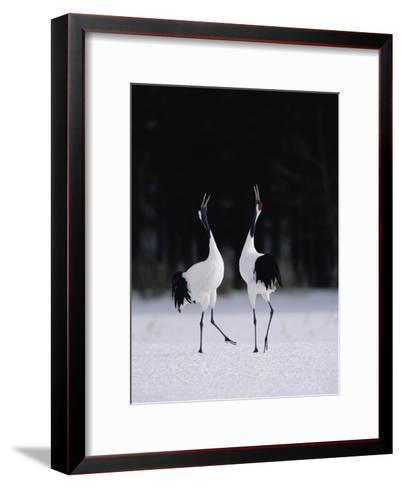 Red-Crowned Crane (Grus Japonensis) Couple in Courtship Display, Hokkaido, Japan-Konrad Wothe-Framed Art Print