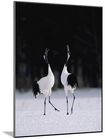 Red-Crowned Crane (Grus Japonensis) Couple in Courtship Display, Hokkaido, Japan-Konrad Wothe-Mounted Photographic Print