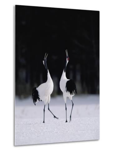 Red-Crowned Crane (Grus Japonensis) Couple in Courtship Display, Hokkaido, Japan-Konrad Wothe-Metal Print