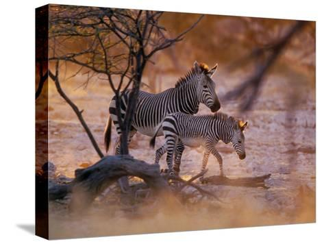 Mountain Zebra (Equus Zebra) Mother and Foal, Etosha National Park, Namibia-Konrad Wothe-Stretched Canvas Print