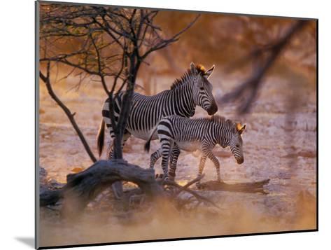 Mountain Zebra (Equus Zebra) Mother and Foal, Etosha National Park, Namibia-Konrad Wothe-Mounted Photographic Print