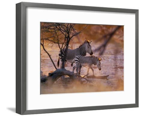 Mountain Zebra (Equus Zebra) Mother and Foal, Etosha National Park, Namibia-Konrad Wothe-Framed Art Print