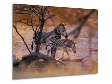Mountain Zebra (Equus Zebra) Mother and Foal, Etosha National Park, Namibia-Konrad Wothe-Metal Print