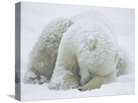 Polar Bear (Ursus Maritimus) Sleeping, Hudson Bay, Canada-Konrad Wothe-Stretched Canvas Print