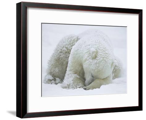 Polar Bear (Ursus Maritimus) Sleeping, Hudson Bay, Canada-Konrad Wothe-Framed Art Print