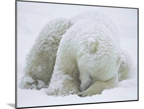 Polar Bear (Ursus Maritimus) Sleeping, Hudson Bay, Canada-Konrad Wothe-Mounted Photographic Print