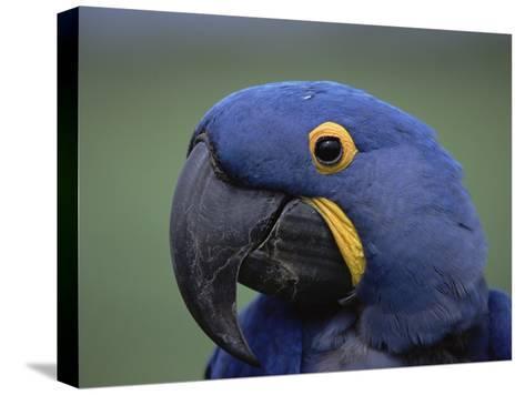 Hyacinth Macaw (Anodorhynchus Hyacinthinus), Endangered, Pantanal, Brazil-Konrad Wothe-Stretched Canvas Print
