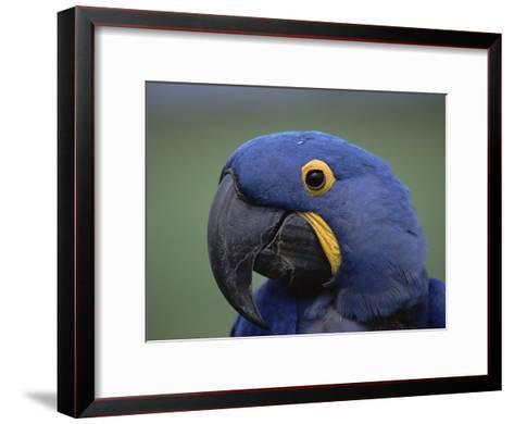 Hyacinth Macaw (Anodorhynchus Hyacinthinus), Endangered, Pantanal, Brazil-Konrad Wothe-Framed Art Print