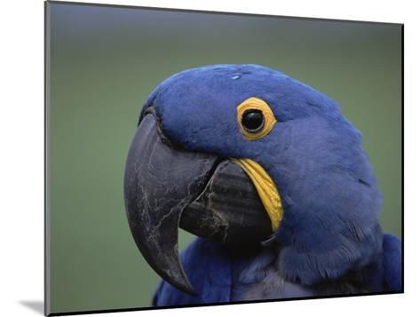 Hyacinth Macaw (Anodorhynchus Hyacinthinus), Endangered, Pantanal, Brazil-Konrad Wothe-Mounted Photographic Print