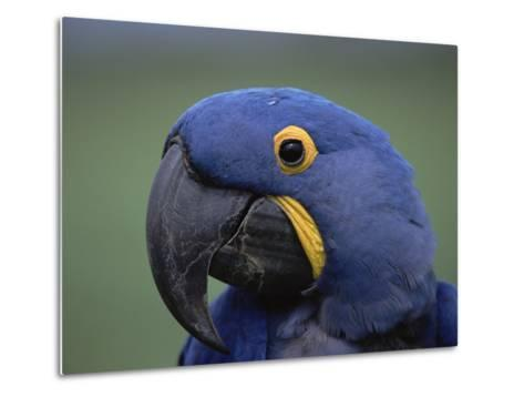 Hyacinth Macaw (Anodorhynchus Hyacinthinus), Endangered, Pantanal, Brazil-Konrad Wothe-Metal Print
