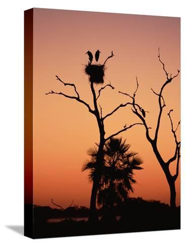 Jabiru Stork (Jabiru Mycteria) Couple at Nest, Sunset, Pantanal, Brazil-Konrad Wothe-Stretched Canvas Print