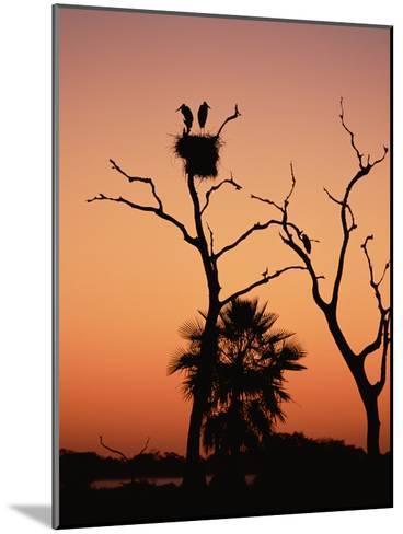 Jabiru Stork (Jabiru Mycteria) Couple at Nest, Sunset, Pantanal, Brazil-Konrad Wothe-Mounted Photographic Print