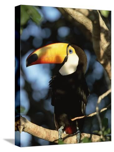 Toco Toucan (Ramphastos Toco) Perching on a Branch, Pantanal, Brazil-Konrad Wothe-Stretched Canvas Print