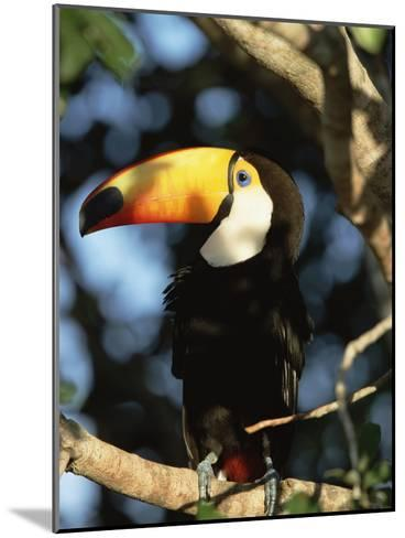 Toco Toucan (Ramphastos Toco) Perching on a Branch, Pantanal, Brazil-Konrad Wothe-Mounted Photographic Print