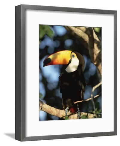 Toco Toucan (Ramphastos Toco) Perching on a Branch, Pantanal, Brazil-Konrad Wothe-Framed Art Print
