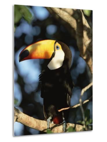 Toco Toucan (Ramphastos Toco) Perching on a Branch, Pantanal, Brazil-Konrad Wothe-Metal Print