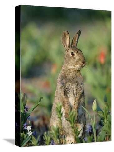 Rabbit (Oryctolagus Cuniculus) Germany-Konrad Wothe-Stretched Canvas Print