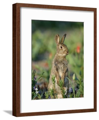 Rabbit (Oryctolagus Cuniculus) Germany-Konrad Wothe-Framed Art Print