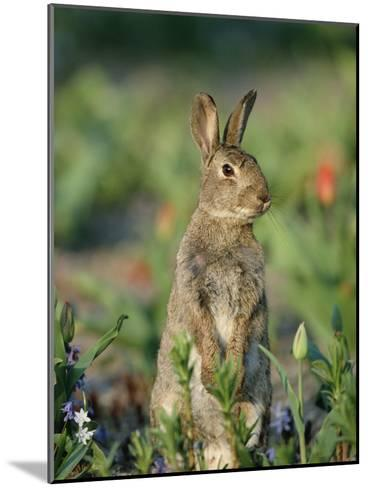 Rabbit (Oryctolagus Cuniculus) Germany-Konrad Wothe-Mounted Photographic Print