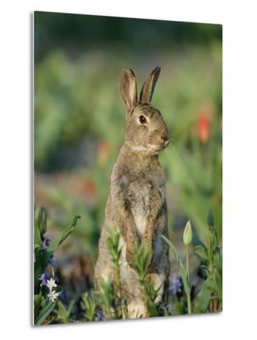 Rabbit (Oryctolagus Cuniculus) Germany-Konrad Wothe-Metal Print