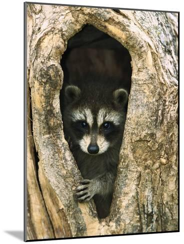 Raccoon (Procyon Lotor) Baby Peering Out from Hole in Tree, North America-Konrad Wothe-Mounted Photographic Print