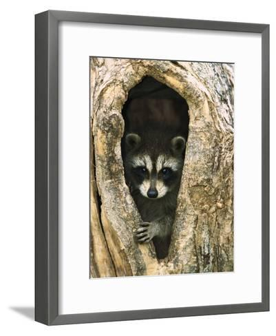 Raccoon (Procyon Lotor) Baby Peering Out from Hole in Tree, North America-Konrad Wothe-Framed Art Print