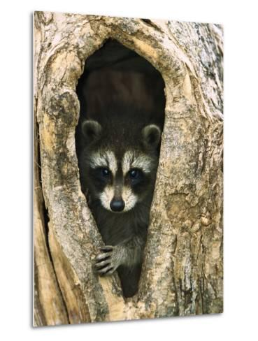 Raccoon (Procyon Lotor) Baby Peering Out from Hole in Tree, North America-Konrad Wothe-Metal Print