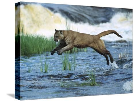 Mountain Lion (Felis Concolor) Leaping across Stream, North America-Konrad Wothe-Stretched Canvas Print
