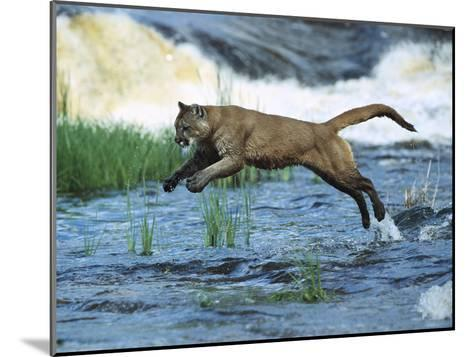 Mountain Lion (Felis Concolor) Leaping across Stream, North America-Konrad Wothe-Mounted Photographic Print