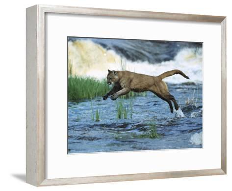 Mountain Lion (Felis Concolor) Leaping across Stream, North America-Konrad Wothe-Framed Art Print