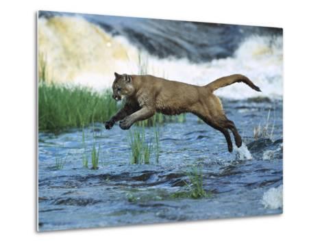 Mountain Lion (Felis Concolor) Leaping across Stream, North America-Konrad Wothe-Metal Print