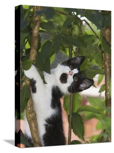 Domestic Cat (Felis Catus) Adult, Climbing Tree, Europe-Konrad Wothe-Stretched Canvas Print