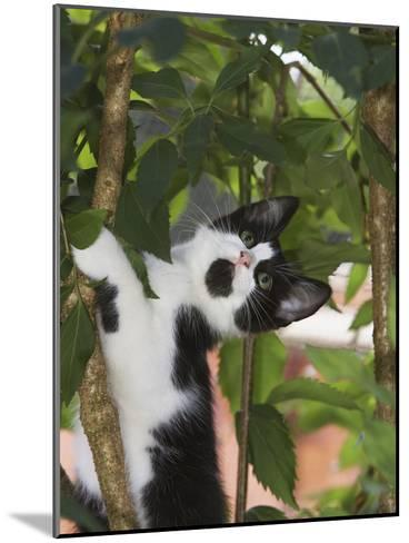 Domestic Cat (Felis Catus) Adult, Climbing Tree, Europe-Konrad Wothe-Mounted Photographic Print