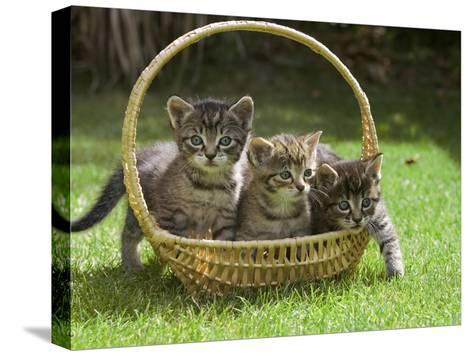 Domestic Cat (Felis Catus) Three Kittens in a Basket, Germany-Konrad Wothe-Stretched Canvas Print